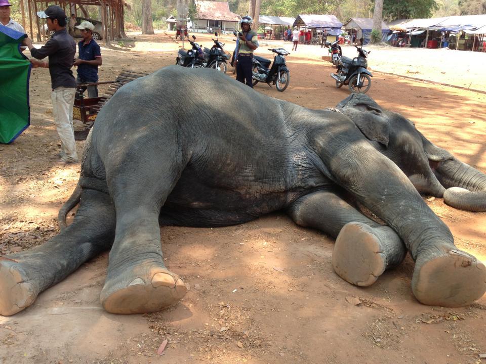 sambo elephant2