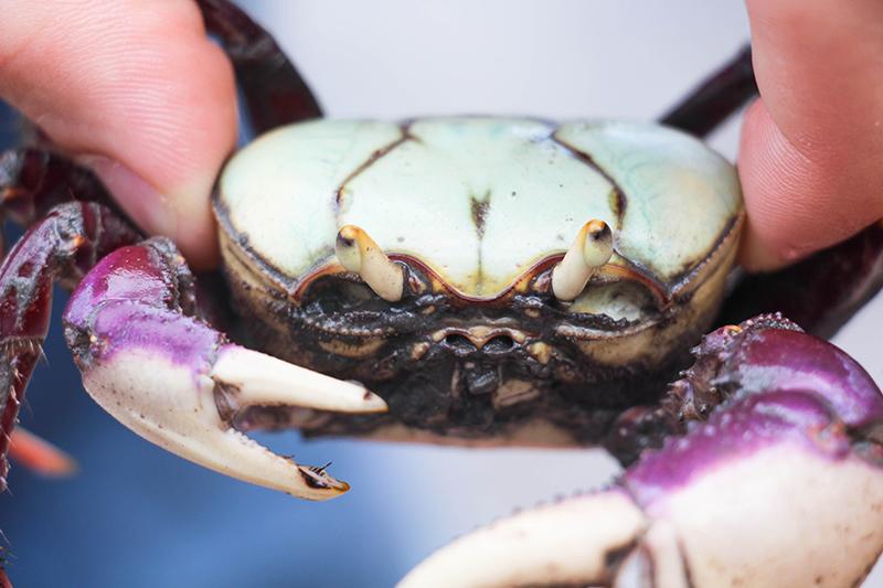 voir des animaux au brésil crabe