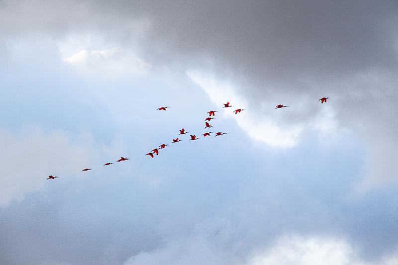 voir des animaux au brésil ibis rouge oiseaux